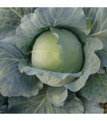 Zelí Polar - Brassica oleracea - osivo zelí - 200 ks