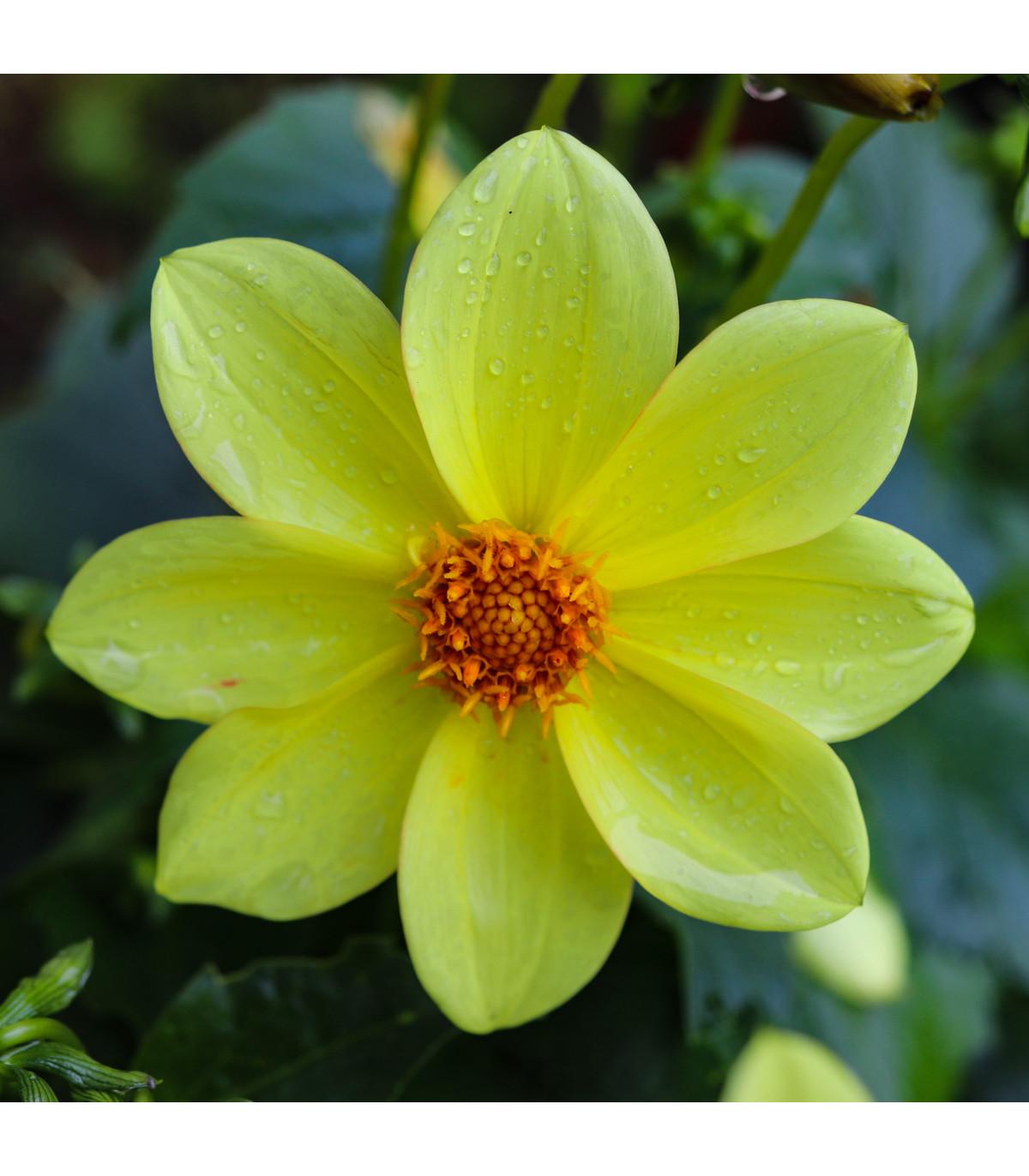Jiřinka topmix žlutá - Dahlia - hlízy jiřinek - 1 ks