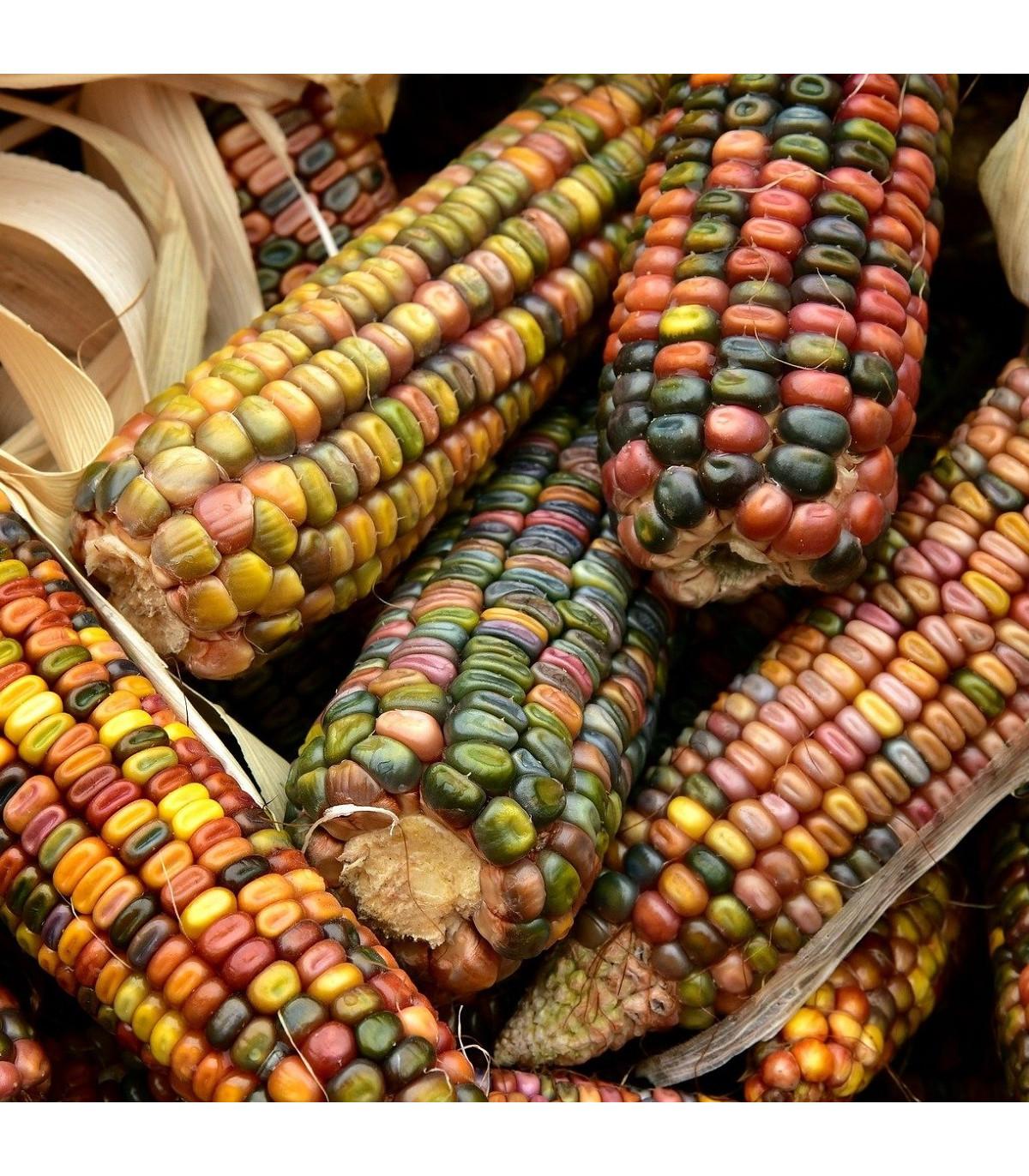 Kukuřice Ice Lady - Zea mays - osivo kukuřice - 20 ks