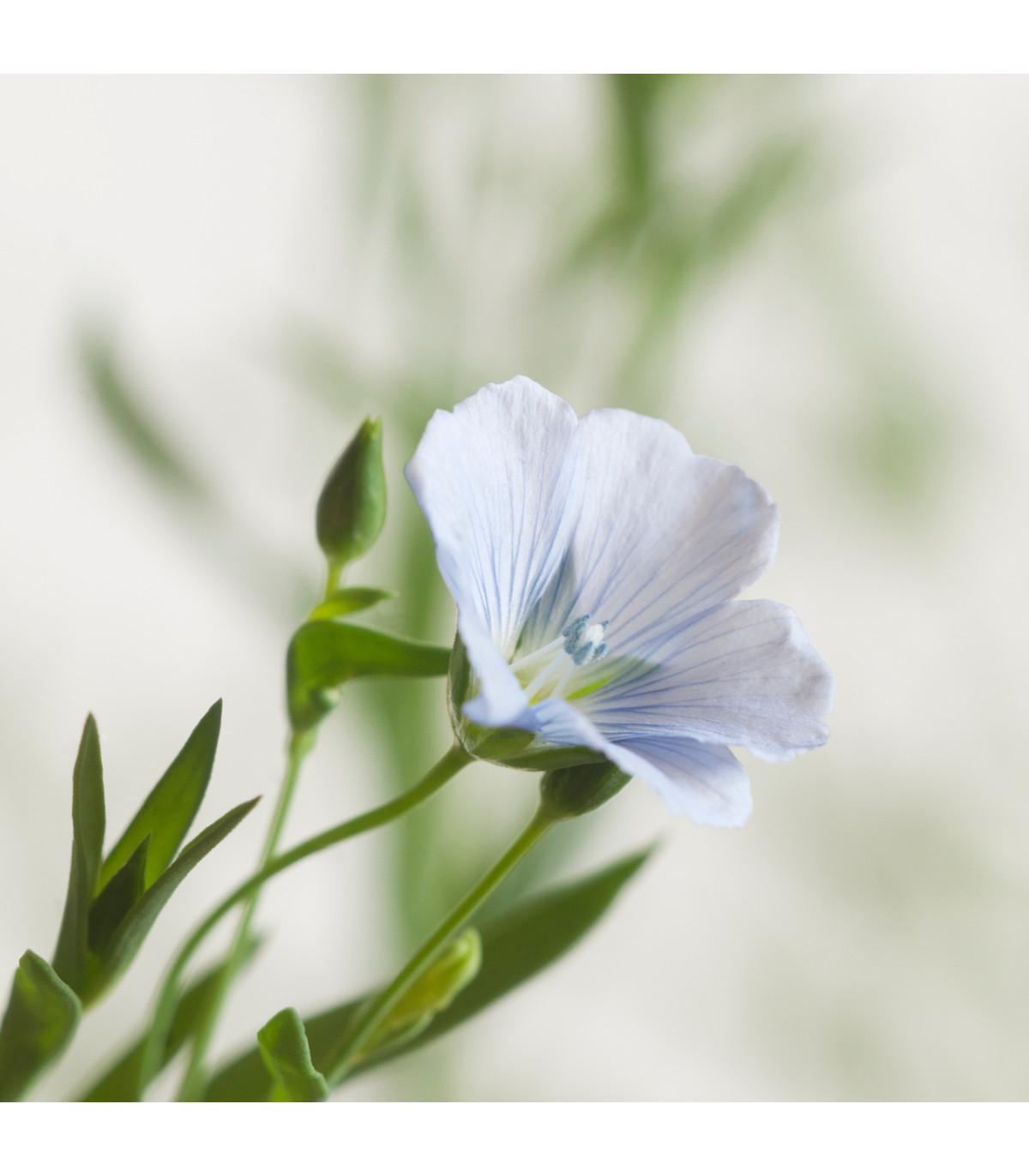 Len setý - Linum usitatissimum - lněné semena - 140 ks