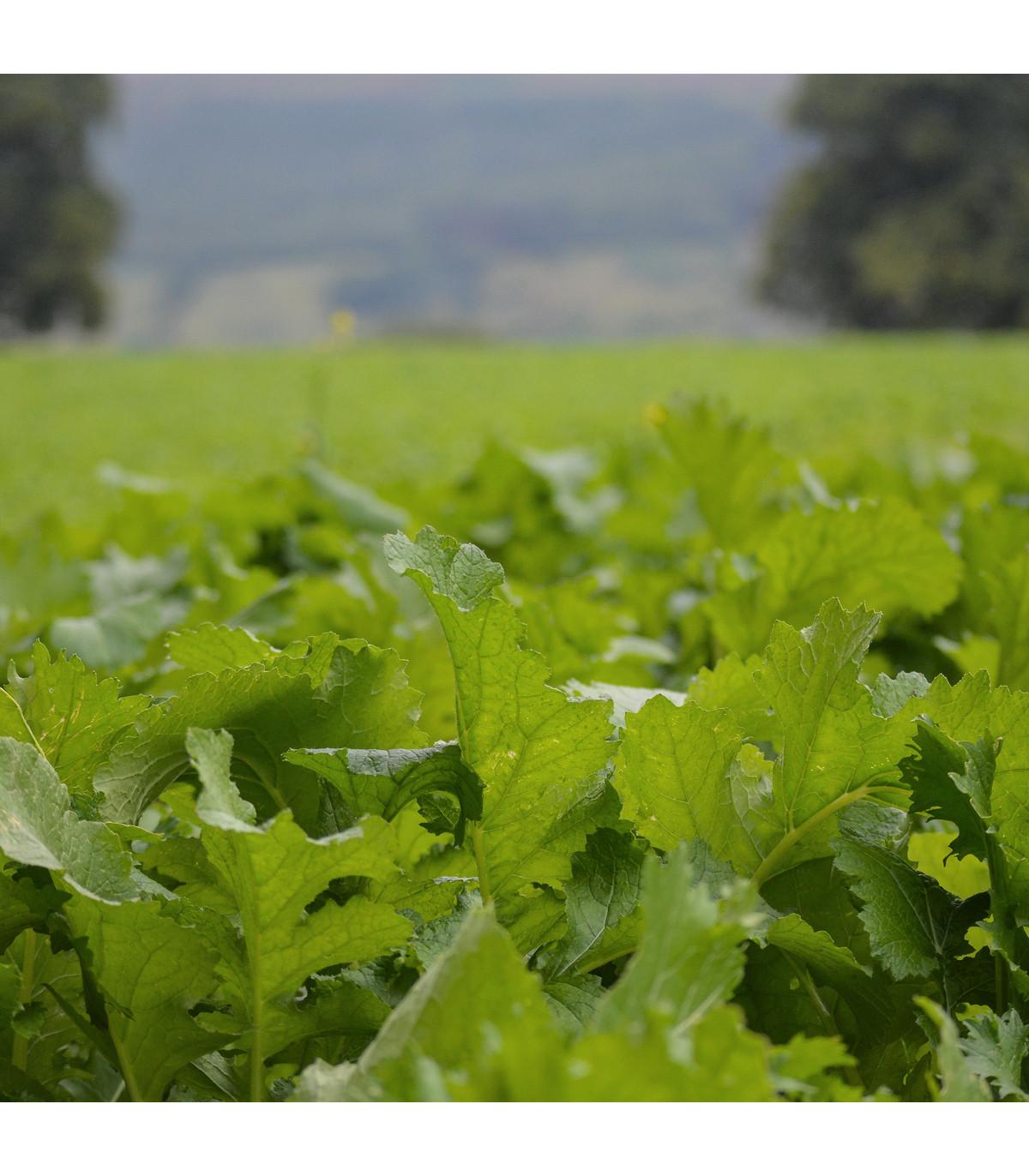 Namenia - Brassica rapa - osivo namenie - 200 ks