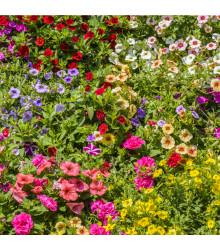 Petúnie plnokvětá směs barev - Petunia hybrida hybrida - prodej semen petunie - 10 ks