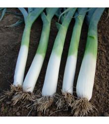 Pór pravý Golem - Allium porrum - osivo pórku - 200 ks
