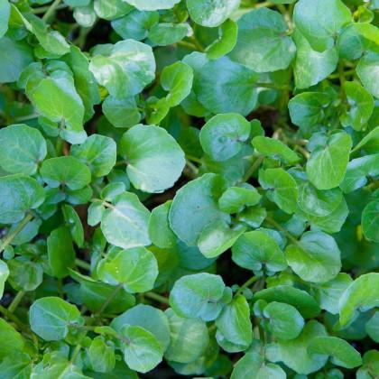 Řeřicha vodní potoční- Nasturtium officinale - prodej semen - 0,5 g