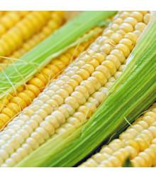 Kukuřice cukrová Tauris F1 - Zea Mays - osivo kukuřice - 6 g