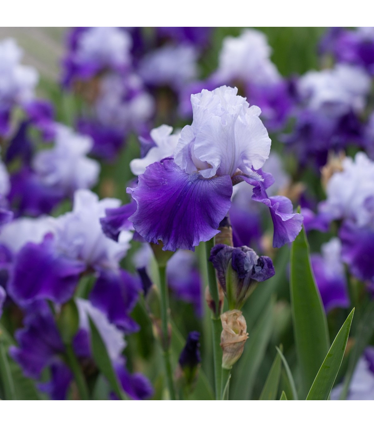 Kosatec Arpege - Iris germanica - cibule kosatce - 1 ks