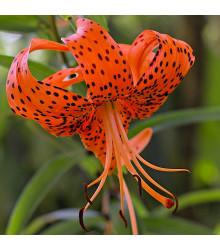 Lilie Red tiger - Lilium - cibule lilií - 1 ks