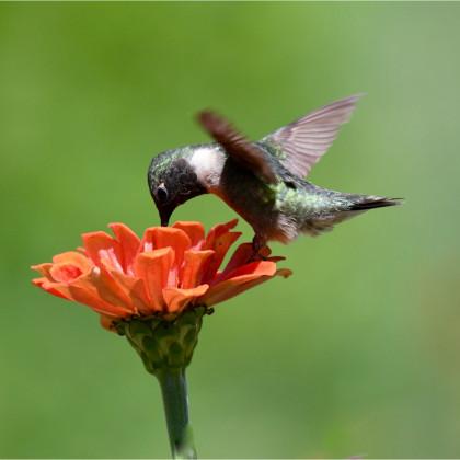 Zimní potrava pro zpěvné ptáky - osivo Kiepenkerl - směs letniček - 40 g