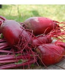 BIO řepa salátová válcovitá Forono - Beta vulgaris - bio osivo řepy - 100 ks