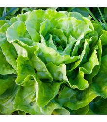 BIO salát hlávkový máslový Sylvesta - Lactuca sativa - bio osivo salátu - 100 ks