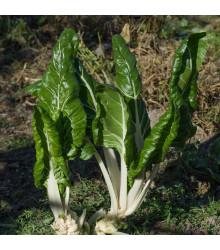 BIO mangold Lucullus - Beta vulgaris - bio osivo mangoldu - 45 ks
