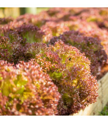 BIO salát listový kadeřavý Lollo Rossa - Lactuca sativa - bio osivo salátu - 0,1 g