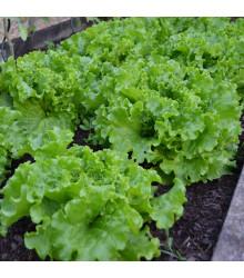 BIO salát hlávkový Maikönig - Lactuca sativa - bio osivo salátu - 1 g