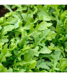 BIO rukola Ruca - Eruca sativa - bio osivo rukoly - 100 ks