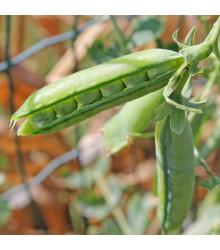 BIO hrách dřeňový Malý Rheinland - Pisum sativum - bio osivo hrachu - 45 ks
