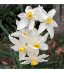 Narcis Canaliculatus - Narcissus - cibule narcisů - 3 ks