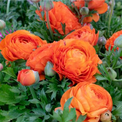 Pryskyřník plnokvětý oranžový - Ranunculus asiaticus - hlízy pryskyřníku - 3 ks