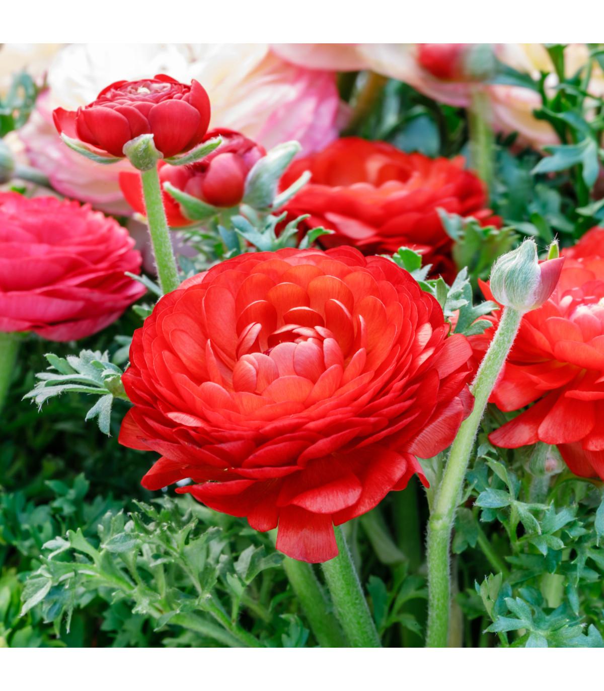 Pryskyřník plnokvětý červený - Ranunculus asiaticus - hlízy pryskyřníku - 3 ks