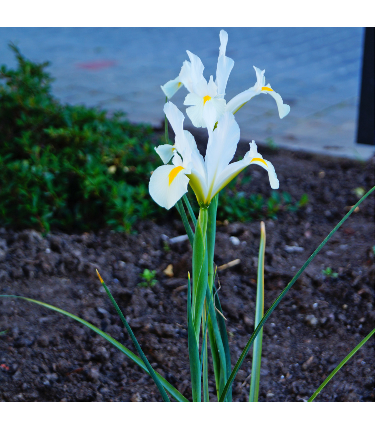 Kosatec White Excelsior - Iris - cibule kosatců - 3 ks