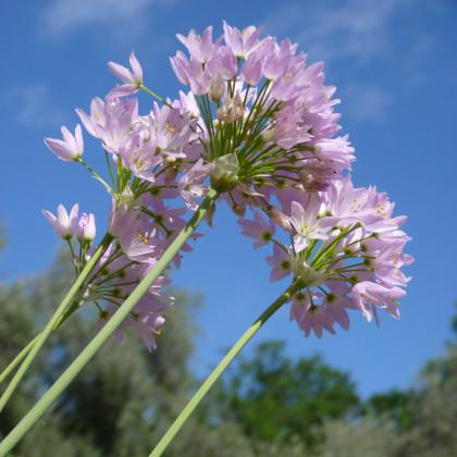 Česnek růžový - Allium roseum - cibule česneku - 3 ks