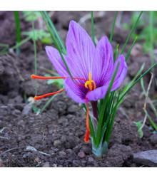 Šafrán setý - Crocus sativus - cibulky šafránu - 3 ks