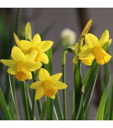Narcis Tete a Tete - Narcissus - cibule narcisů - 3 ks