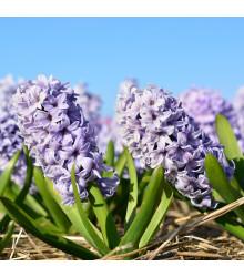 Hyacint Sky jacket - Hyacinthus - cibule hyacintů - 1 ks