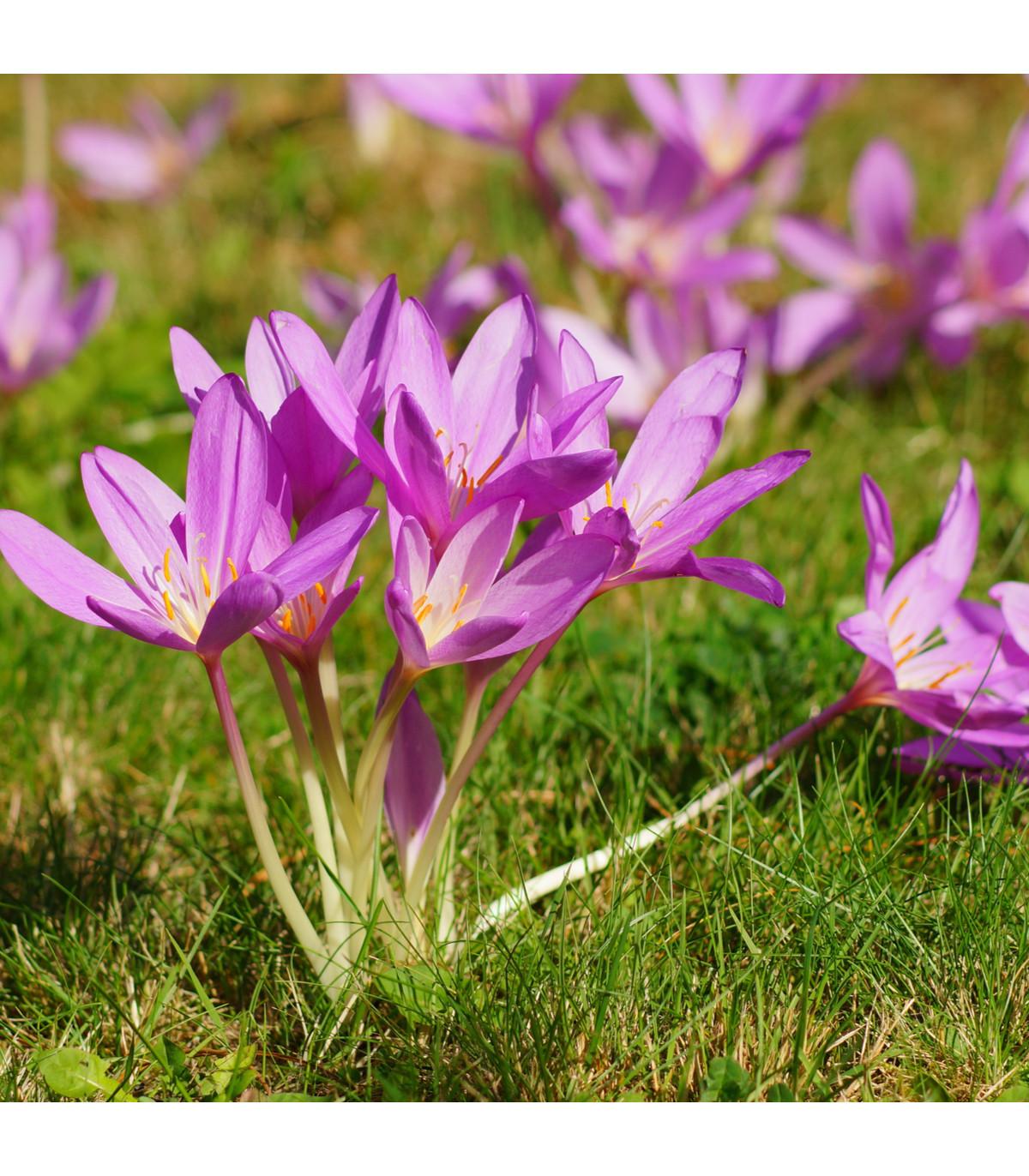 Ocún podzimní - Colchicum cilicicum - hlízy ocúnu - 1 ks
