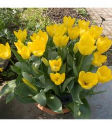 Tulipán Yellow Purissima - Tulipa - cibule tulipánů - 3 ks