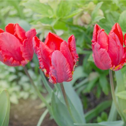 Tulipán Rococo - Tulipa - cibule tulipánů - 3 ks