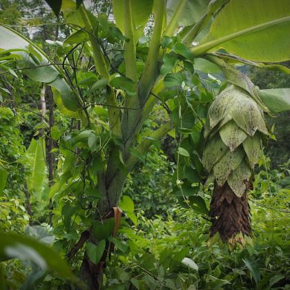 Banánovník sněžný - Ensete glaucum - osivo banánovníku - 3 ks