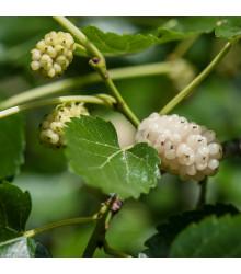 Morušovník bílý - Morus alba - osivo morušovníku - 5 ks