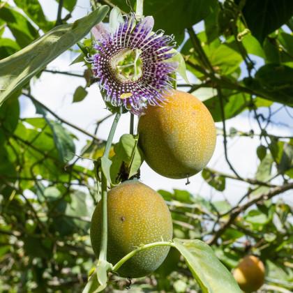 Mučenka pruhovaná sladká - Passiflora ligularis - osivo mučenky - 4 ks