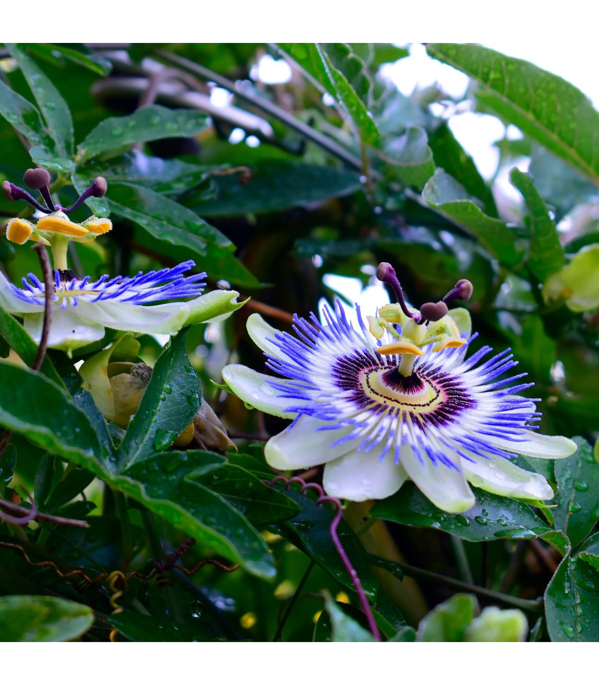 Mučenka modrá - Passiflora caerulea - osivo mučenky - 5 ks