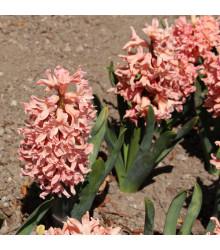Hyacint Gipsy Queen - Hyacinthus - cibule hyacintů - 1 ks