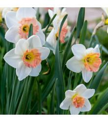 Narcis Pink Charm - Narcissus - cibule narcisů - 3 ks