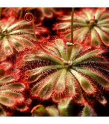 Rosnatka - Drosera spathulata - semena - 15 ks