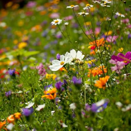 Lučních květiny a byliny - směs - osivo letniček - 0,9 g