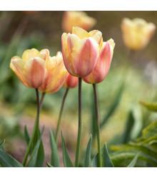 Tulipán Apricot Foxx - Tulipa - cibule tulipánů - 3 ks