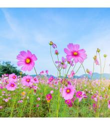 Letničky Zahradní sen v růžovém - směs - osivo letniček - 0,9 g