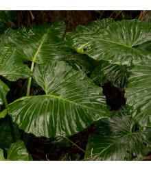 Alokázie - Alocasia cucullata - osivo alokázie - 4 ks