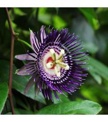 Mučenka maliformis - Passiflora maliformis - osivo mučenky - 4 ks