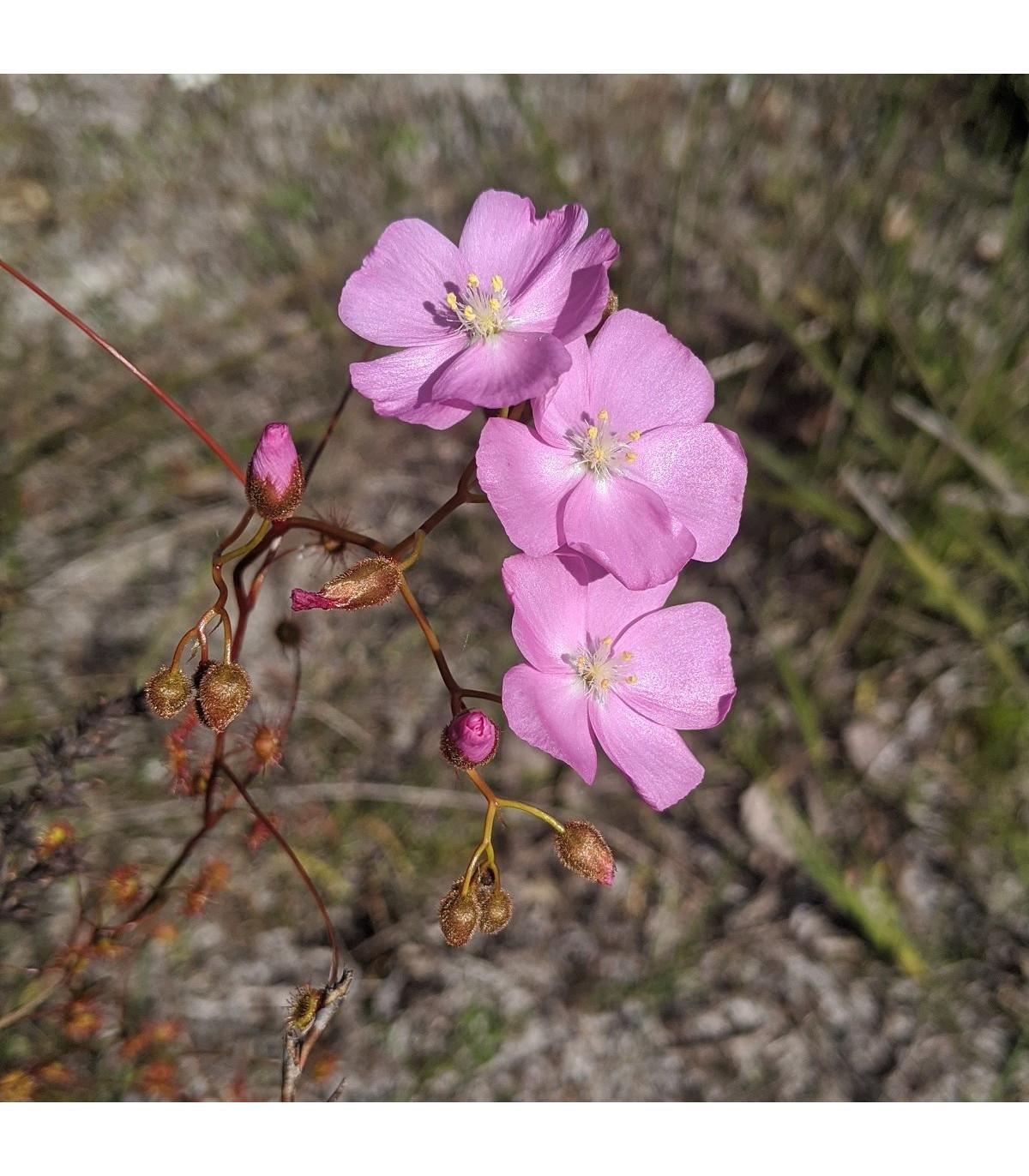 Rosnatka - Drosera venusta - osivo rosnatky - 15 ks