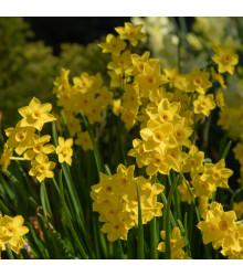 Narcis Baby Moon - Narcissus Jonquilla - cibule narcisů - 3 ks