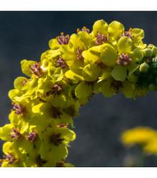 BIO Divizna velkokvětá - Verbascum densiflorum