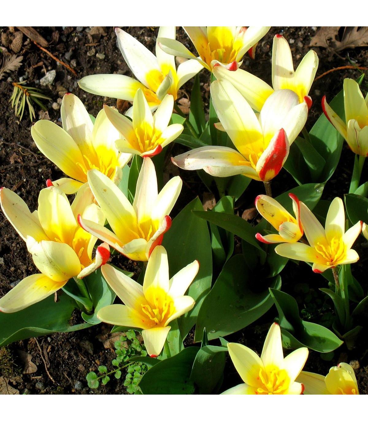 Tulipán Johann Strauss - Tulipa - cibule tulipánů - 3 ks