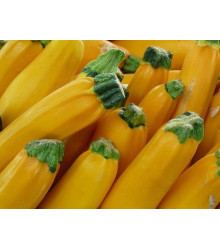 Cuketa zlatá - F1 - semena cukety - Cucurbita pepo - 10 ks