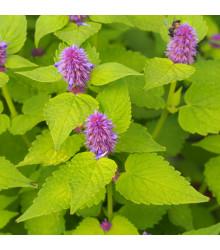BIO Agastache fenyklová – Agastache foeniculum