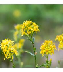 Zlatobýl obecný - Solidago virgaurea - prodej semen léčivých rostlin -  10 ks