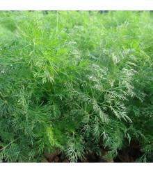 Kopr vonný Moravan - Anethum graveolens - osivo kopru - 500 ks